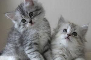 сибирская кошка котята