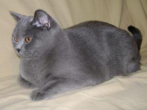 британская короткошёрстная кошка беременность
