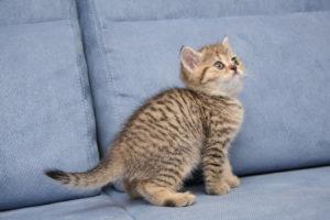 окрас шерсти шотландских кошек тигровый