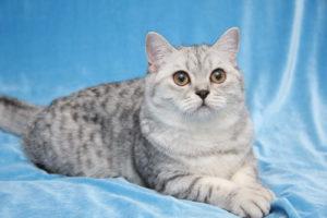 кошка на голубой ткани