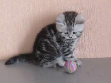 шотландский котенок с мячиком