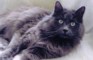 кошка нибелунг смотрит в камеру