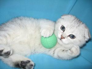 шотландский вислоухий котенок с мячиком