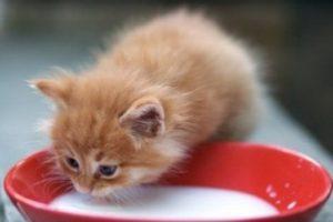 котенок ест молоко