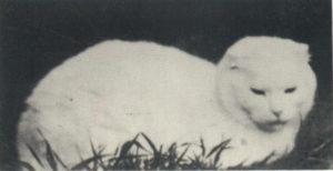 первая шотландская вислоухая кошка сьюзи