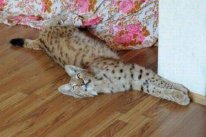домашняя рысь лежит на полу