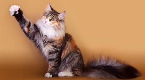 норвежская лесная коошка дает лапу