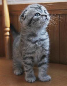 полосатый котенок скоттиш фолд