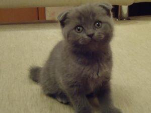 шотландский вислоухий котенок девочка