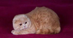кремовый окрас британская вислоухая кошка