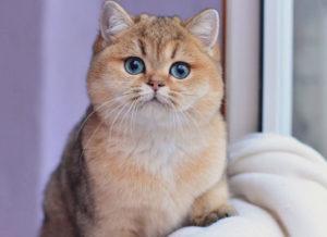котенок золотой британской шиншиллы