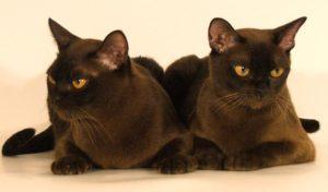 две бурманские кошки лежат