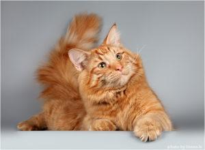 норвежский лесной рыжий кот