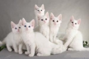 котята турецкой ангоры