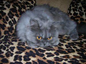 персидская кошка голубого окраса