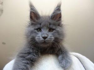 серый котенок породы мейн кун