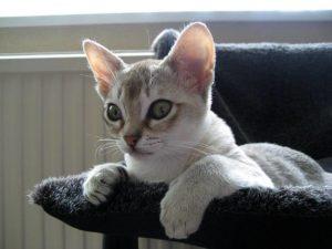 кошка сингапура лежит