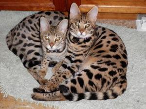 два котенка породы саванна