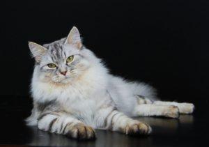 сибирская кошка лежит