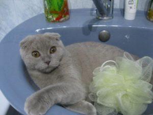 шотландская вислоухая кошка лежит в раковине