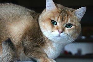 кот шиншилла золотого окраса