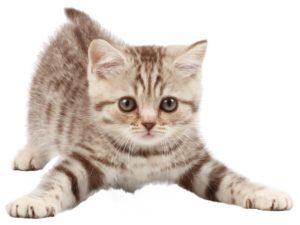 кот с полосатыми лапами