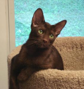 кошка гавана коричневая