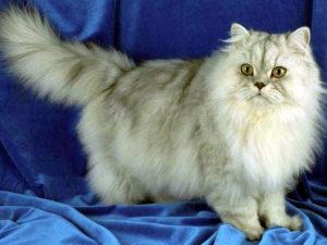 персидская кошка серебристая шиншилла