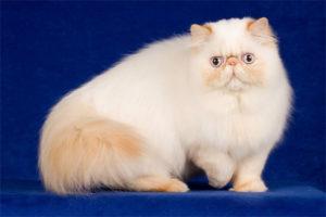 гималайская кошка на синем фоне