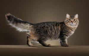 сибирская кошка полосатый табби