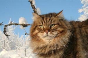 сибирская кошка и ее характер