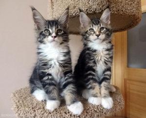 два котенка породы мейн кун