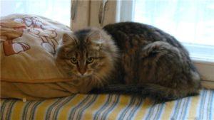 сибирская кошка лежит на постели