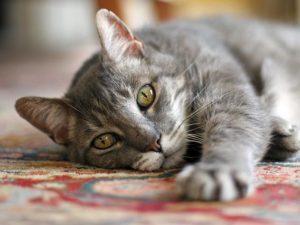 кошка в возрасте лежит