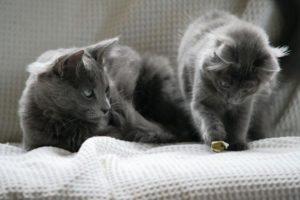 два котенка породы нибелунг