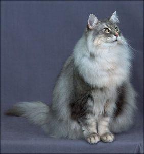 норвежская лесная коошка сидит