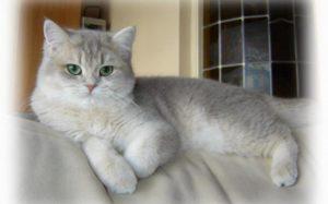 дымчатая шотландская прямоухая кошка