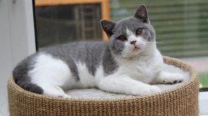 двухцветная шотландская кошка