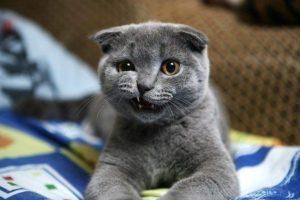 британская вислоухая кошка показывает зубы