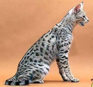 кошка саванна с серебристым окрасом