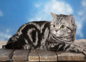 окрас шерсти шотландских кошек мраморный тебби