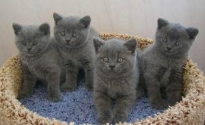 четыре британских котенка