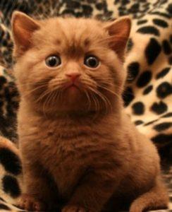 британский короткошерстный котенок окраса циннамон