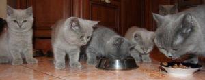 кормление британской кошки и ее котят