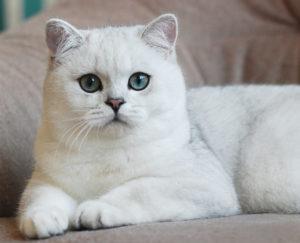 британский белый кот