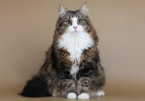 сибирская кошка сидит
