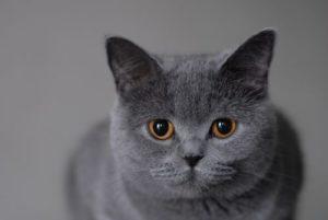 темперамент британской кошки