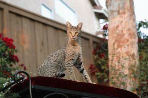 кошка саванна на крыше