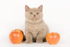 британский котенок среди яблок