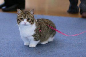 коротконогая кошка манчкин